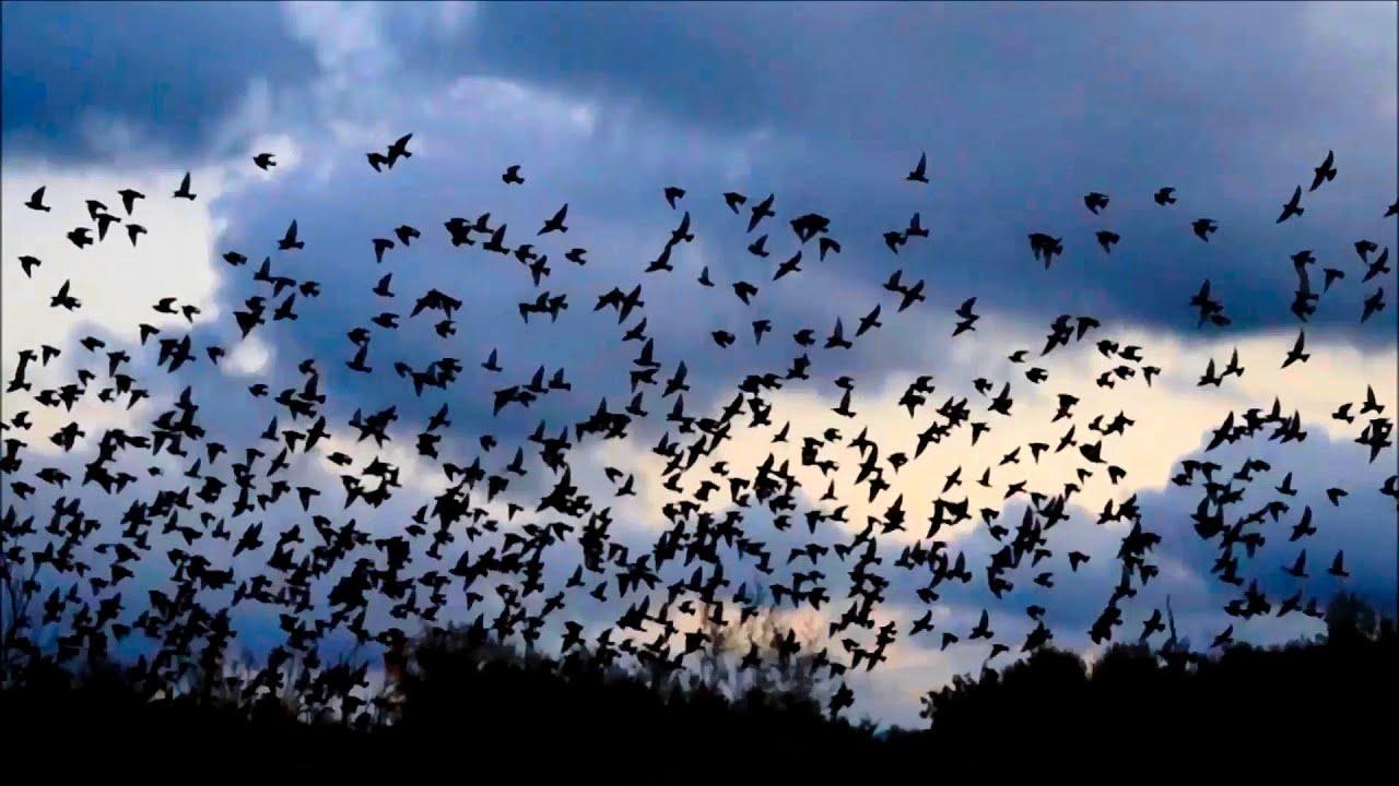 Bellissimo volo di uno stormo di uccelli, minacciati dall ...