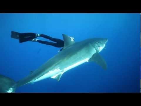 OCEAN RAMSEY GREAT WHITE SHARKS, OCEAN RAMSEY FREEDIVING WITH SHARKS, SWIMMING WITH GREAT WHITES