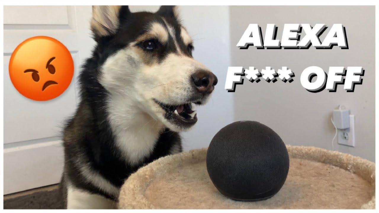Download My HUSKY Talks To ALEXA |  (She Beat up Alexa!)