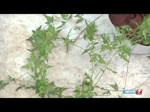 Mudakathan keerai natural herb - plant @ your terrace garden  | Poovali | News7 Tamil