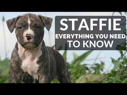 STAFFORDSHIRE BULL TERRIER 101 - Everything You Need To Know About Owning a Staffie Puppy