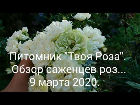 """Обзор саженцев роз из украинского питомника """"Твоя Роза""""."""
