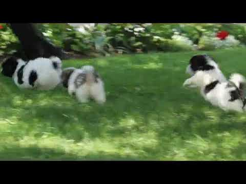 Shih Tzu Mix Puppies For Sale Youtube