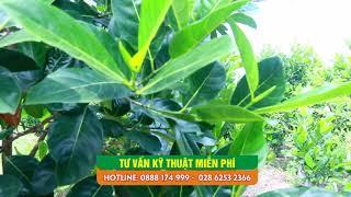 Cách trồng cây mít Thái mang lại hiệu quả kinh tế cao nhất - tiết kiệm nhất