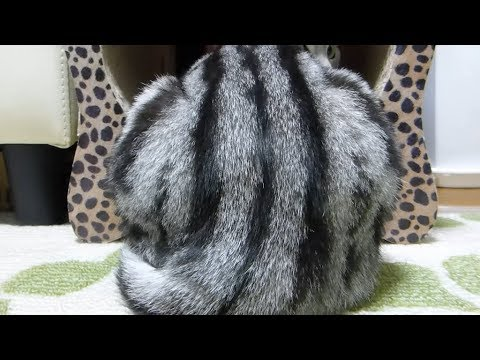 お情け頂戴猫  ~母ちゃんのイスを乗っ取る女優魂を見た! -Mom's Chair Is Cat's Chair