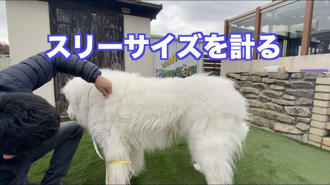 愛犬の3サイズ グレートピレニーズ MIX犬