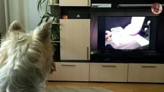 Собака смотрит телевизор и узнает себя