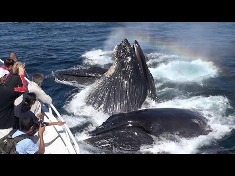 Amazing! Humpback Whales Lunge Feeding Up Close! Monterey Bay 9/16/15