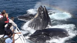 Amazing! Humpback Whales Lunge Feeding up close! Monterey Bay 9/16/15