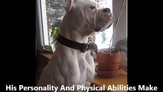 Alapaha Blue Blood Bulldog - Puppies for Sale, by Pets4You.com