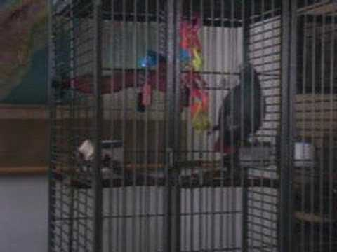 African Grey parrot yelling at dog