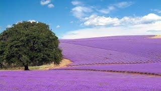Ngắm những cánh đồng hoa oải hương Lavender đẹp mê ly (linkstore.vn)