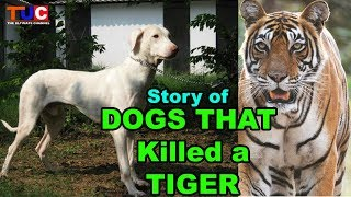 Dogs That Killed a TIGER!! : Rajapalayam Dog : TUC