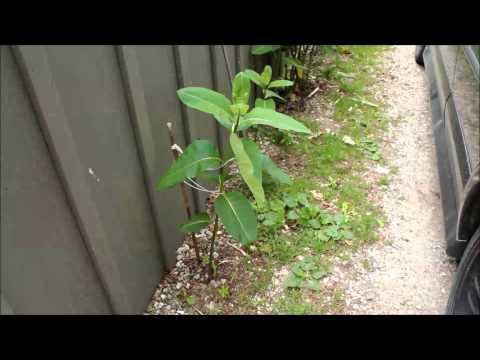 How to Plant Common Milkweed