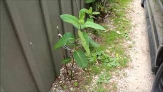 How to Plant Common Milkweed