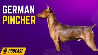 German Pincher  Amy Issleib  | HOD #8