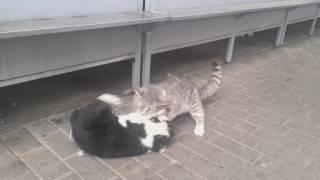 Cat fight / Коты дерутся за территорию