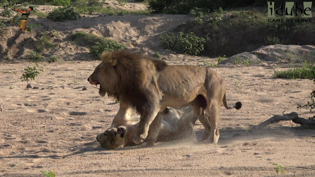 Wildlife Lions On The Beach Roar After Pairing - Youtube-1611