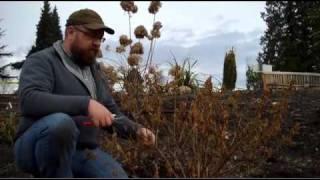 Gardening tips: Pruning Hardy Fuchsias