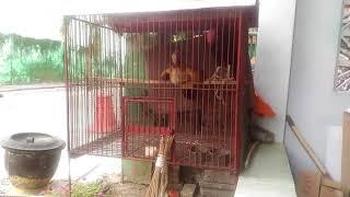 Download suara ayam betina