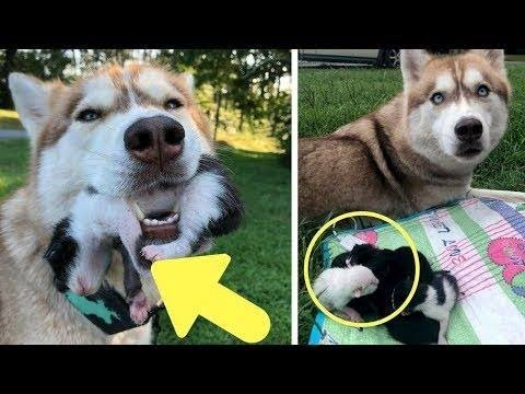 Hero Husky Finds A Box Full Of Near Dying Kittens In The Woods, Becomes Their New Mom