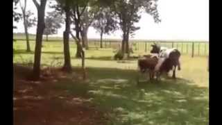 Sheep vs Cow headbutt - see who wins