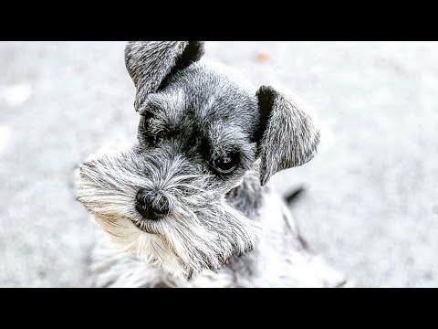 the-most-adorable-miniature-schnauzer-puppy!!-we-love-fenix!