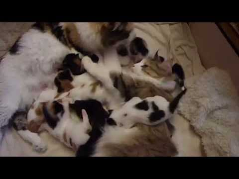 Cassie & Pite, Norwegian Forest Cats with their kittens