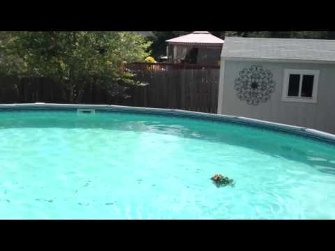 Yorkshire  terrier swimming