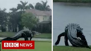 Is this giant alligator on a Florida golf course real? - BBC News