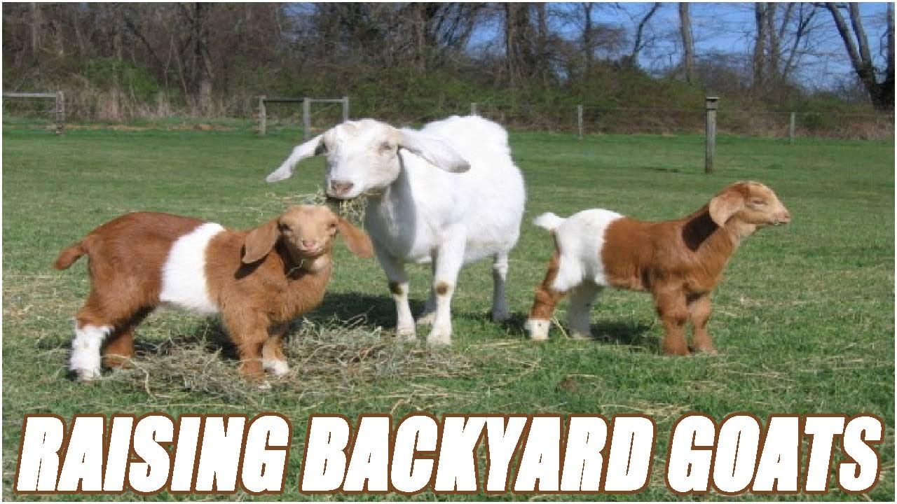 raising backyard goats for beginners youtube