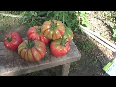 сорт томата Грибное лукошко