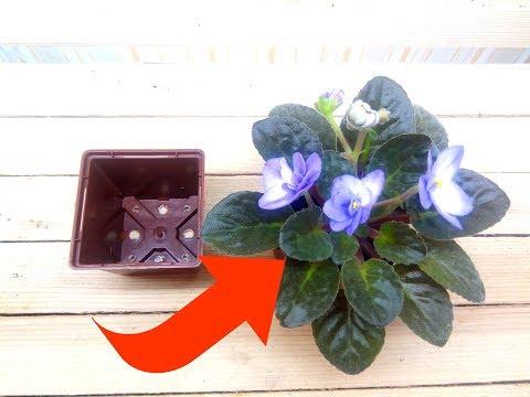 Можно ли пересаживать цветущую фиалку?