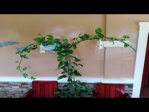Devil 39 s ivy money plant golden pothos arch shaped - Interior plant maintenance contract ...