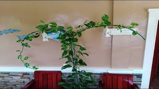 Devil's Ivy / Money Plant / Golden Pothos Arch Shaped Indoor Decoration Ideas and Plant Care