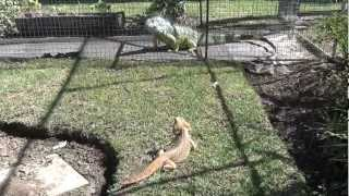 Iguana teased by bearded dragon