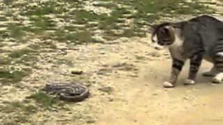 Животные приколы  БОЙ КОШКИ И ГАДЮКИ