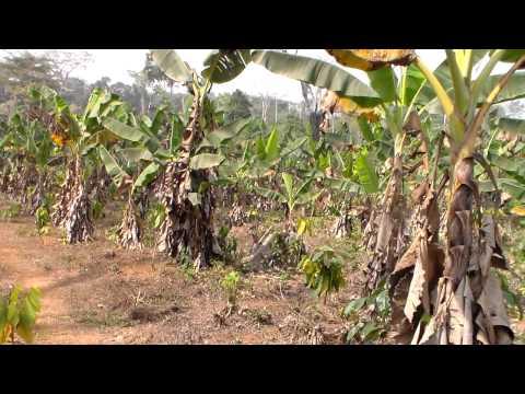Champs de  banane plantain Angie au Cameroun