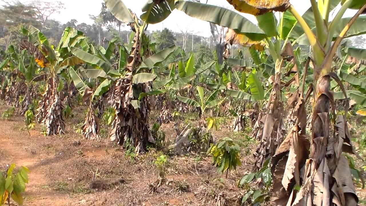 champs de banane plantain angie au cameroun youtube. Black Bedroom Furniture Sets. Home Design Ideas