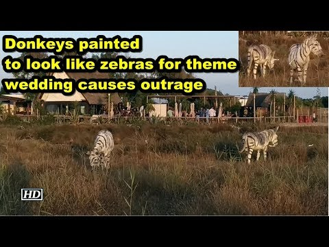 donkeys-painted-to-look-like-zebras-for-theme-wedding-causes-outrage