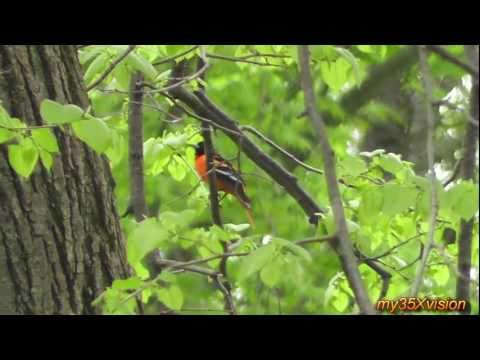 The Life of Baltimore Orioles in HD