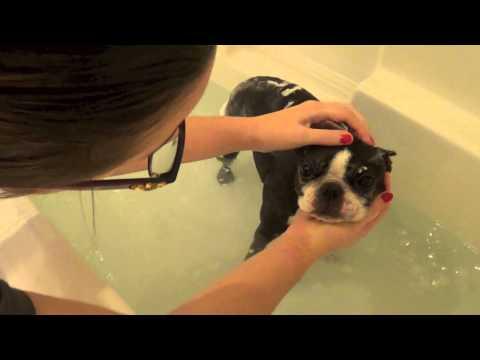 Boston Terrier Bath Time