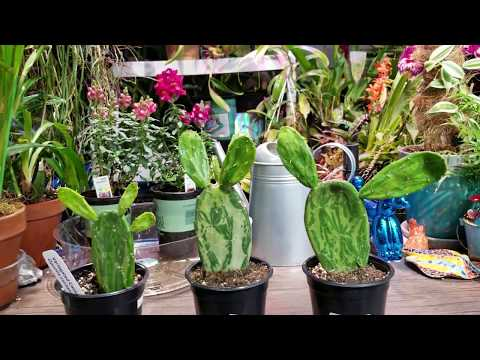 Variegated Cactus! || Opuntia Cochenillifera ' variegata ' || Cactus Haul ?