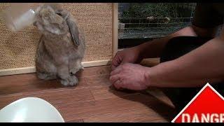世の中にはこんなウサギもいるんです! (チャップ・ダンダンウー) Rabbit is a very pleasant animal. thumbnail