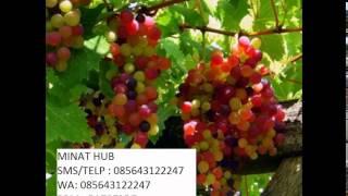 cara tanam anggur pelangi 085643122247/5A73F9D7