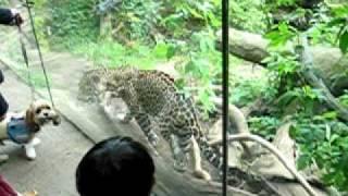 Jaguar Vs Cocker Spaniel