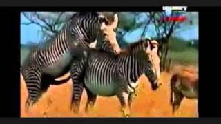 vuclip Zebras mating