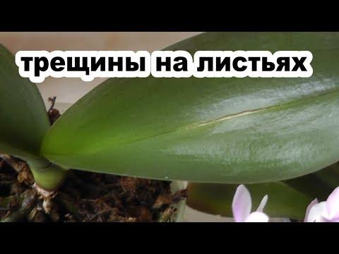 лопнул лист у орхидеи Причины? Почему лопаются листья у орхидеи фаленопсис?