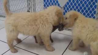 Golden Doodle, Puppies, For, Sale, In, Rio Rancho, New Mexico, County, Nm, Sandoval, San Juan, Mckin