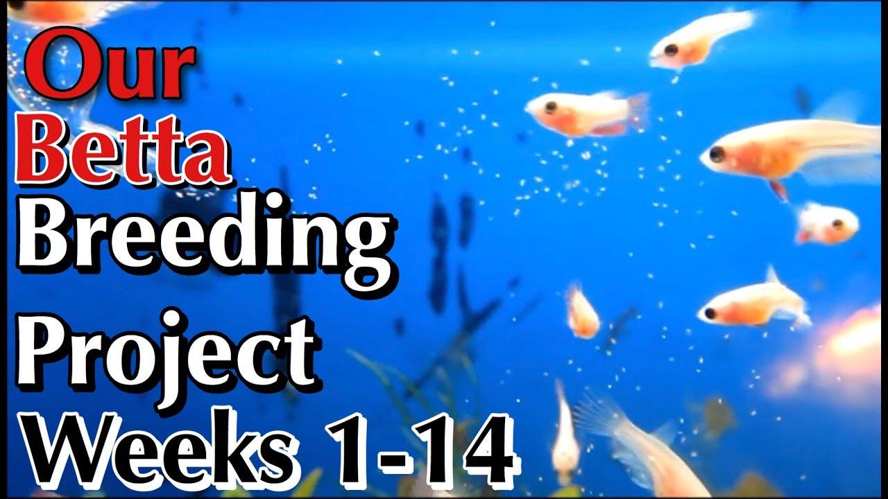 Betta breeding project week 1 to week 14 youtube betta breeding project week 1 to week 14 nvjuhfo Choice Image